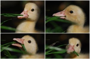 Ducklings 017 eating grass by 88-Lawstock