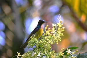 Plain Throated Sunbird by GreenNexus51