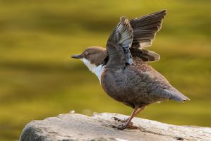 white throated dipper by MartinAmm