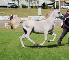 TW arab greywhite canter side on by Chunga-Stock