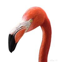 American Flamingo Study by Abiogenisis