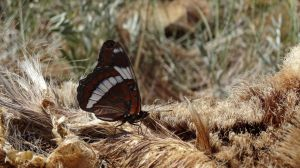 White Admiral by Track-Maidens