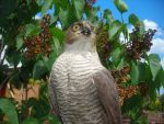 Sparrowhawk by mrs-voorhees09