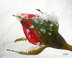 A snowy red rose by nadineleon