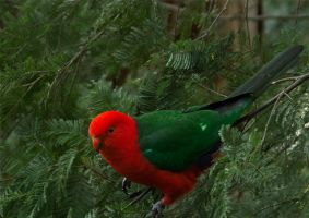 King Parrot male by Dryad-8