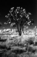 Infrared Joshua Tree by Dilznacka