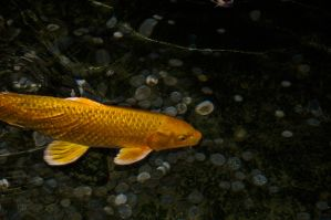 The golden Koi by Ariel1707