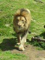 Lion Stock 2 by Reyna-Love-Stock