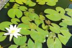 stock water lily 2 by Twins72
