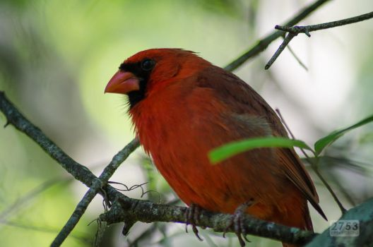 Northern Cardinal by 2753Productions