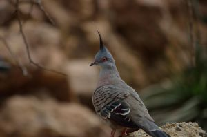 CRESTED PIGEON by major-holdups