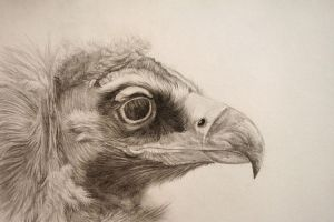 Cinereous Vulture by birdaves