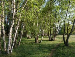 STOCK Birches by Inilein