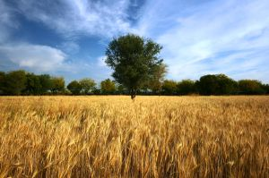 wheat field by mirtek