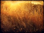 Fields of Gold by Izzie-Hill