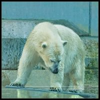 Playful polar bear by Nameda