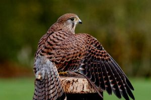 Female Kestrel 4 by Tinap