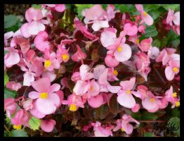 Bunches of Pink by MLGn00beater