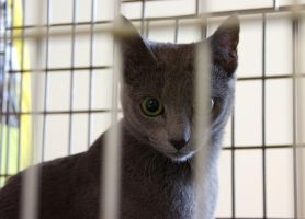 Russian blue 1 by Yerahatte