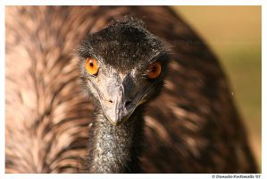 Emu by TVD-Photography