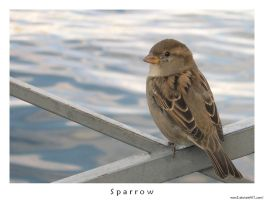 sparrow by reonz