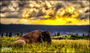 Chilling Buffalo by vnt87