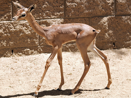 Baby Gerenuk by photographyflower