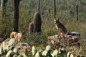 Cactus and Coyote 4398 by mammothhunter