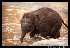 Splashing Baby Elephant by TVD-Photography