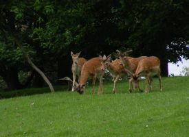Deer at Calke Abbey by popicok
