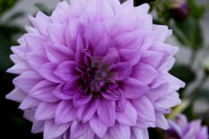 Purple Dahlia by InspirationsByTHart
