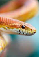 Corn Snake II by Glenn0o7