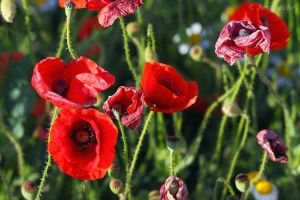Some poppies by Jorapache