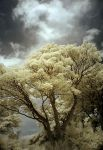Infrared Tree II by Dave-Ellis