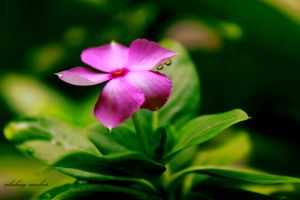 Vinca Rose by aqshae