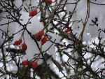Winter berry by Fairling