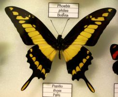 Papilio Thoas by Seraerith-stock