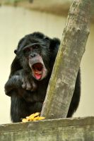 Mr Chimpanzee by Rovanite
