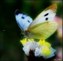 Large white butterfly by freudian-slips