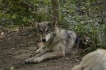 WSC Young Wolf 4 by Lakela