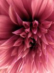 Large Dahlia Faded by thriftyredhead