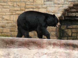 Black Bear Stock by Gnewi-Stock