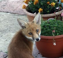 one of this years fox cubs by awjay