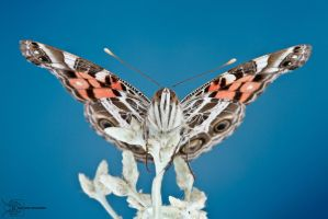Painted Lady - Vanessa cardui by ColinHuttonPhoto