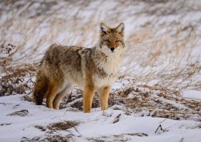 Coyote - -stare by JestePhotography