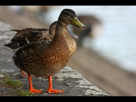 ello Duckie by GMCPhotographics