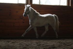 Gray Welsh Pony Gelding at Liberty by HorseStockPhotos
