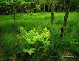 Where the Green Fern Grows by TRBPhotographyLLC