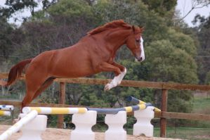 ASH - Showjumping by Chunga-Stock