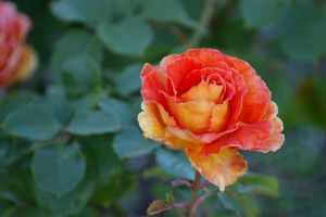 Antique Rose 2 by FallowpenStock
